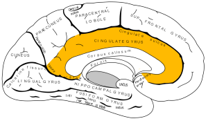 Gray727_cingulate_gyrus