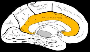 Gray727_cingulate_gyrus